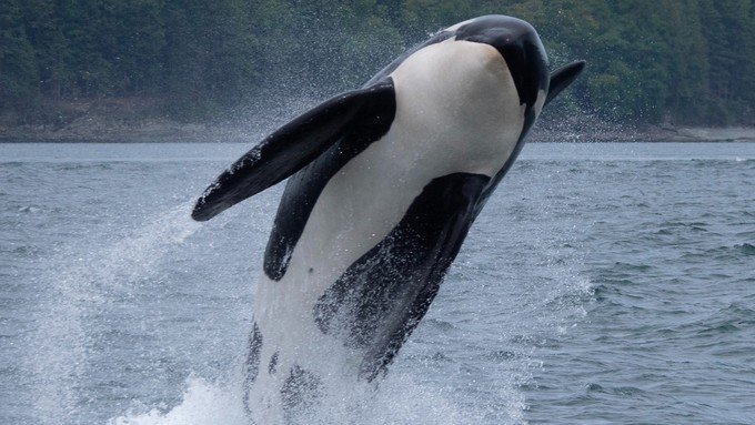 Image caption: Noise pollution and climate change threaten the orca species.