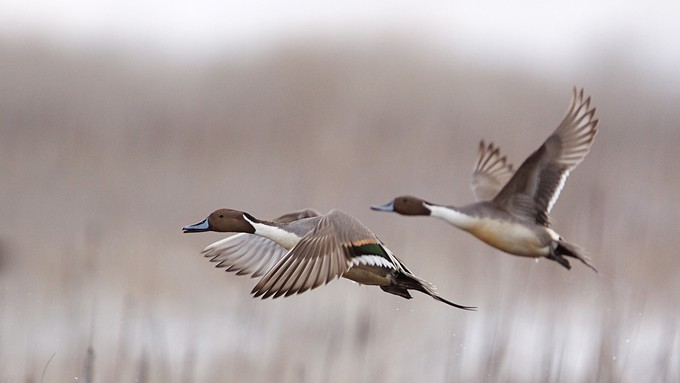 Image caption: Northern pintails and many other species of waterfowl depend on marshland in the Klamath Basin during migration.